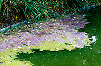 EUTROPHICATION (Variations available upon request)<br /> Algae Bloom<br /> Cultural or anthropogenic eutrophication is water pollution caused by excessive plant nutrients. Runoff from agriculture, urban fields, golf courses as well as sewage contribute these nutrients.