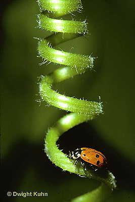 1C10-021x  Convergent Ladybug on a pumpkin tendril, Hippodamia convergens
