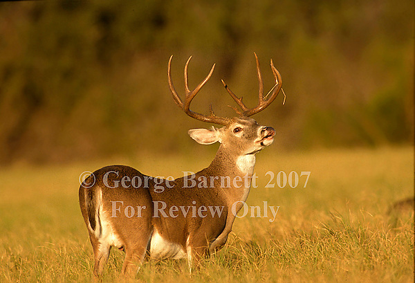 Image Previously Published. Contact George Barnett Photography for Details. Field and Stream Whitetail 2000