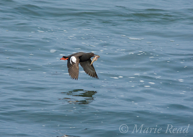 Pigeon Guillemot (Cepphus columba), in flight carrying a fish, Santa Cruz, California, USA