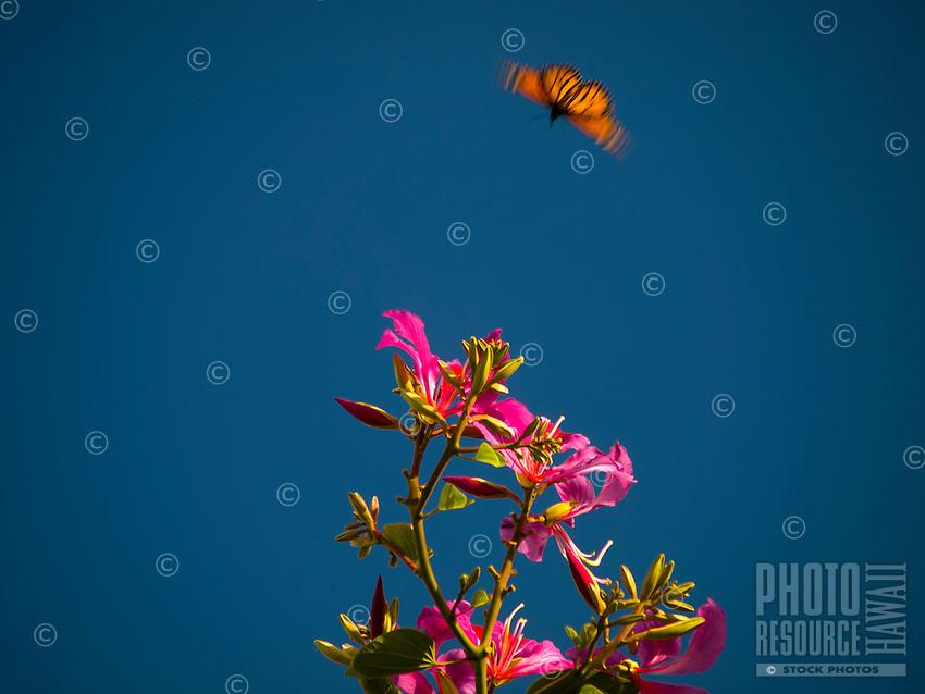 A monarch butterfly flutters toward the pink flowers of an orchid tree in Kailua-Kona, Big Island.
