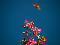 A monarch butterfly flutters toward the pink flowers of an orchid tree in Kailua-Kona, Big Island.