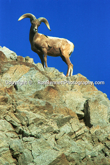 Bighorn sheep, ovis canadensis, sheep, Bering land bridge, Native Americans, Dall Sheep, Animal, Sierra Nevada Bighorn sheep, Peninsular Bighorn Sheep,  mountain sheep, dall sheep, Animal, wild animals, domestic animals,  Fine Art Photography, Ronald T. Bennett (c, Bighorn Sheep Fine Art Photography by Ron Bennett, Fine Art, Fine Art photography, Art Photography, Copyright RonBennettPhotography.com ©