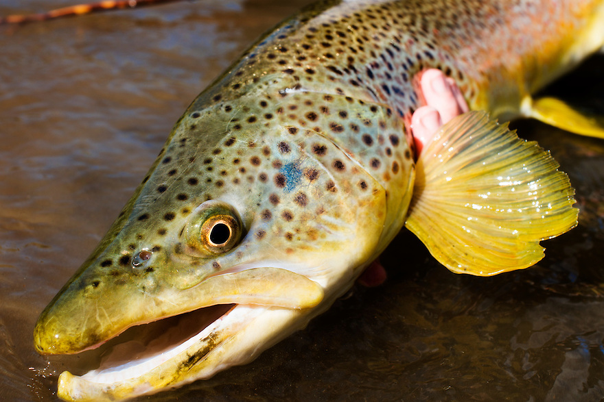 This 26-inch brown trout took a white circus peanut on a small stream in western Montana.