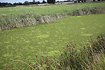 Eutrophication in drainage ditch caused by run off of nitrate fertiliser creating algal bloom on surface, Sutton, Suffolk, England