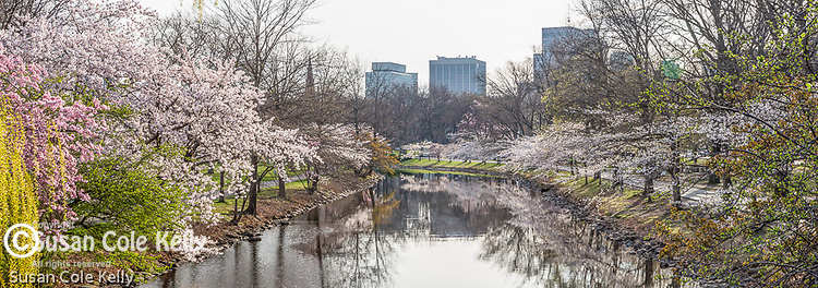 Cherry blossoms over the Storrow Lagoon, Boston, Massachusetts, USA