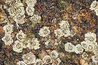 Australische Seepocke, Neuseeländische Seepocke, Australseepocke, Seepocken bei Ebbe, Elminius modestus, Austrominius modestus, New Zealand barnacle, Australasian barnacle, barnacles