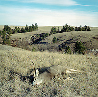 A white tail deer after a hunt at Trope Ranch near Hullett, Wyoming, Wednesday, November 7, 2012.<br /> <br /> <br /> Photo by Matt Nager