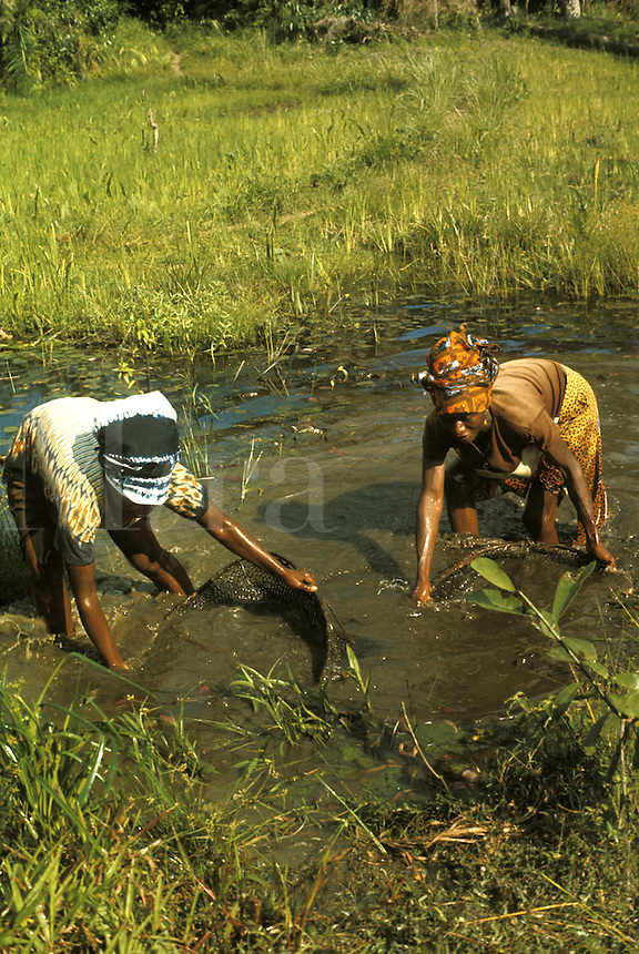 West Africa Liberia Kpelle Tribe women fishing with hand nets in shallow river.