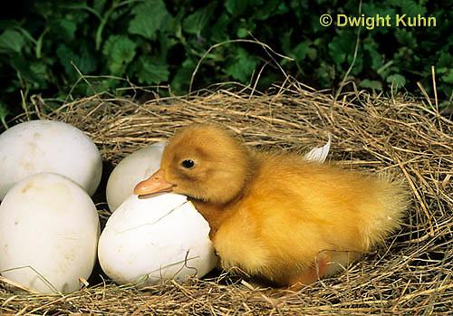 DG20-001z  Pekin Duck - just hatched