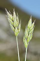 Soft Brome - Bromus hordaceus ssp. ferronii