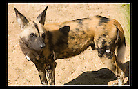 African Hunting Dog (Lycaon pictus) - Zoological Society of London - 1st May 2007
