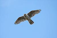 Gyr Falcon - Falco rusticolus - grey phase