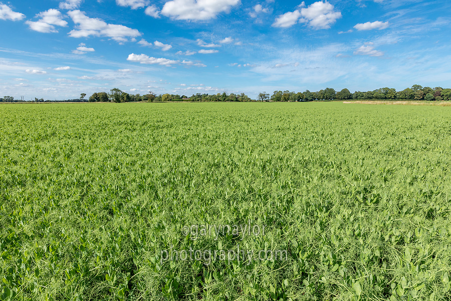 Vining peas - lincolnsshire, July