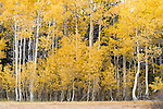 Fall aspens and color on Carson Pass near Red Lake