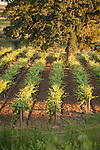 Vineyards in summer, Shenandoah Valley, Calif...heritage oak, Youngs Vineyard
