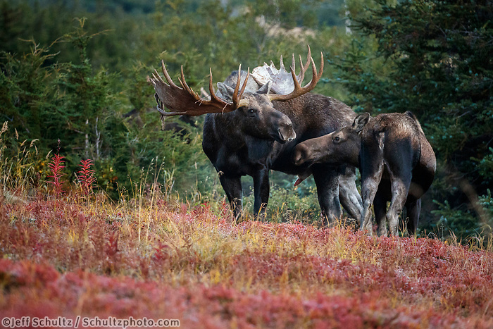 Fall landscape of Bull and cow moose during courtship in powerline valley of Glen Alps area in Chugach Mountains near Anchorage, Alaska.  Chugach State Park. <br /> <br /> Photo by Jeff Schultz/SchultzPhoto.com  (C) 2018  ALL RIGHTS RESERVED