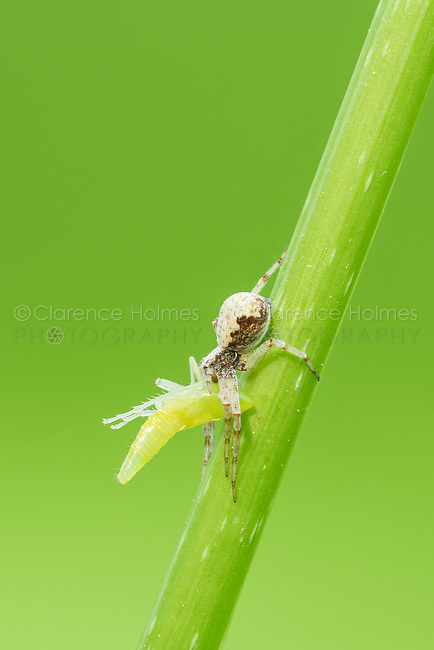 A Metallic Crab Spider (Philodromus marxi) holds on to its caught prey, a leafhopper nymph.