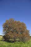 Israel, Shephelah, Atlantic Pistachio tree in Park Adulam