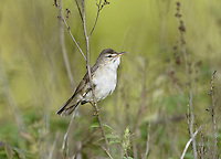 Blyth's Reed Warbler - Acrocephalus dumetorum