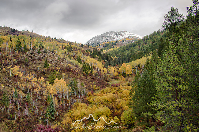 Idaho, Eastern, Swan Valley, Booth Canyon. A smorgasbord of autumn color in the Snake River Range of Eastern Idaho on a wet day.