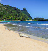 A Hawaiian monk seal rests on a beach in Ha'ena, Kaua'i.