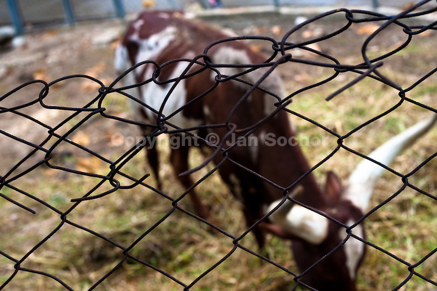 A longhorn cow stands behind the fence at the Havana Zoo, Havana, Cuba, 12 February 2011. The largest and the oldest zoo in Cuba (founded in 1939) is located in a centric neighborhood of the capital. Since the 1990s Cuba struggles with chronic economic crisis and therefore the strong marks of rundown and lack of sources are evident within the whole zoological garden. A lot of cages are empty and out of use for long time, the remaining animals are captured in poorly maintained pits. Concrete enclosures have no vegetation, all facilities are unkept. The food supply is often inadequate and visitors throw junkfood to the animals because there are no zookeepers around.