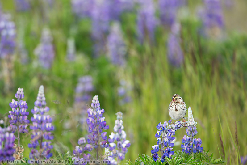 Savannah sparrow perches on the wildflower blossom of a lupine in a lush summer field of vegetation in Katmai National Park, Alaska Peninsula, southwest Alaska.