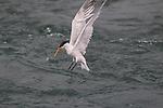 Elegant tern fishing