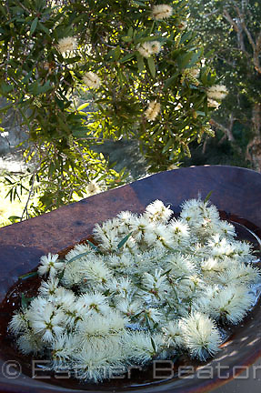 Blossoms of paperbark (Melaleuca quinquinervia) soaking in a coolamon or wooden bowl. Aborigines derived nectar by making sweet drink. Sydney region.