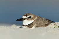 Wilson's Plover (Charadrius wilsonia) sitting on its nest, a scraped out area in beach sand