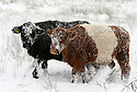 Cattle try to find food in a snow covered field in the hills above Belfast, County Antrim, Friday, December 8th, 2017. Photo/Paul McErlane