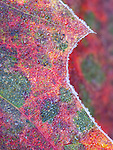 frosted red oak leaves, Suomi Hills area, Chippewa National Forest, Minnesota