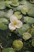 Europäischer Froschbiss, Hydrocharis morsus-ranae, Common frogbit, European frog's-bit