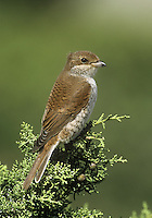 Red-backed Shrike Lanius collurio. Shrikes are well-marked, bold predators that have an allure far beyond what might be expected for birds of their size. Sightings are infrequent nowadays and consequently it is a red letter day for any birdwatcher if they see one. Two species occur reasonably regularly in the region. The Red-backed Shrike Lanius collurio (L 16-18cm) was once a locally common summer visitor but sadly now is extinct as a breeding species. However, it does occur in small numbers as a passage migrant in spring and autumn, mainly in coastal scrub. Adult males have a reddish brown back, blue-grey cap and nape (with a dark band through the eye), and pink-flushed pale underparts. Adult females are similar but with muted colours while juveniles are barred brown.
