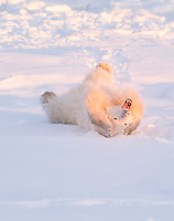 Polar Bear streching and yawning