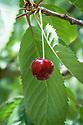 Cherry 'Merton Reward', mid July. An English black sweet cherry originally from Cambridgeshire.