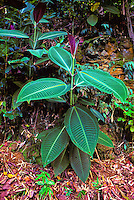 The miconia plant or miconia calvescens in onomea, hawaiian islands. This plant was brought to the Hawaiian Islands in 1960.