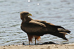 Yellow-billed kite (Milvus aegyptius), Hwange National Park, Zimbabwe