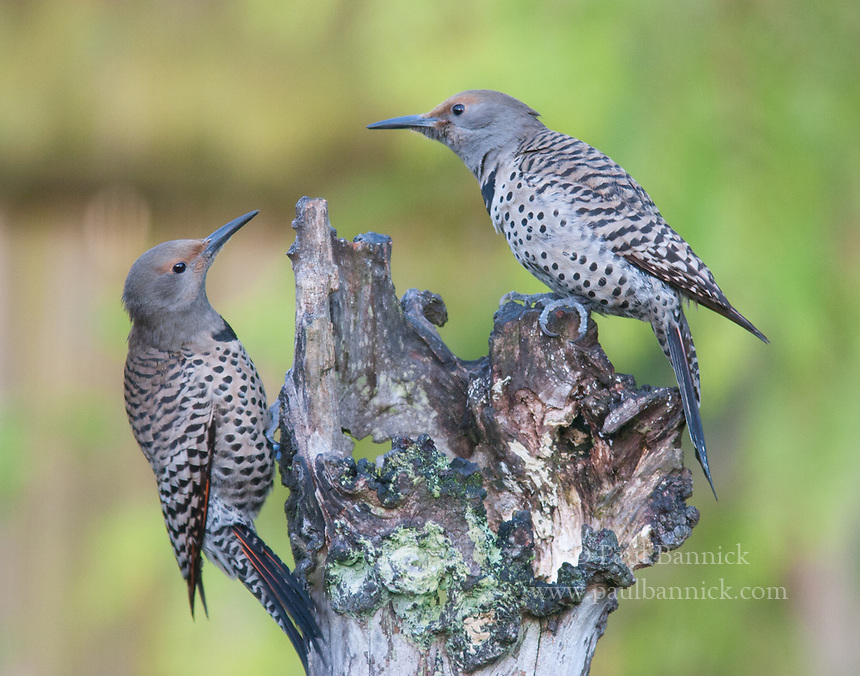 Two female Northern Flickers confront one another with their bills stabbing back and forth.