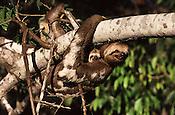 O bicho-pregui&ccedil;a &eacute; um mam&iacute;fero da Ordem Xenarthra, na qual existem duas fam&iacute;lias, a Bradypodidae (tr&ecirc;s dedos) e a Megalonychidae (dois dedos). S&atilde;o elas:<br /> <br /> Familia Bradypodidae:<br /> - Bradypus variegatus &ndash; Pregui&ccedil;a Comum.<br /> - Bradypus tridactylus &ndash; Pregui&ccedil;a-de-Bentinho.<br /> - Bradypus torquatus &ndash; Pregui&ccedil;a-de-coleira.<br /> <br /> Fam&iacute;lia Megalonychidae:<br /> - Choloepus hoffmanni &ndash; Pregui&ccedil;a-real.<br /> - Choloepus didactylus &ndash; Pregui&ccedil;a-de-dois-dedos.<br /> Foto Marcello Louren&ccedil;o