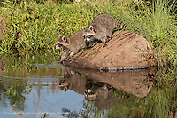 Pair of young Raccoons, Procyon lotor, Minnesota