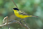 Yellow Wagtail, Motacilla flafa thunbergi, Lake Langano, Ethiopia, perched in tree, breeding colour of male.Africa....