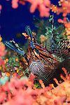 Common lionfish: Pterois volitans, resting amongst coral, Solomon Islands