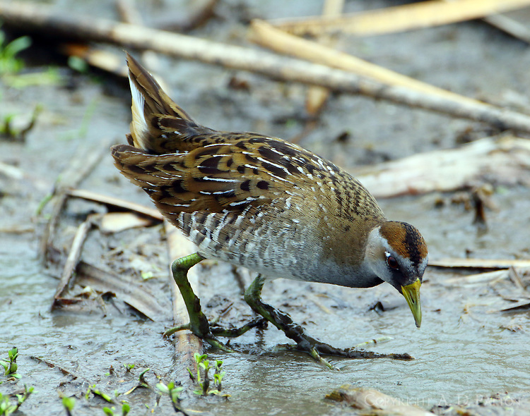 Adult sora in breeding plumage