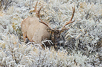 Rocky Mountain bull Elk (Cervus canadensis nelsoni) in snowstorm.  Northern U.S. Rocky Mountains.  October.