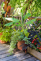 Musa banana, Canna Tropicanna, plectranthus, annuals, Kong coleus, Ipomoea sweet potato vines, begonias in runner window boxes, in pot container garden on deck for tropical feel, with wisteria foliage hanging overhead.