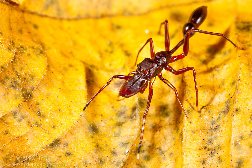 Ant-mimicking jumping spider {Myrmarachne sp}, tropical rainforest, Masoala Peninsula National Park, north east Madagascar.