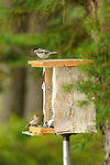 Rustic homemade bird feeder at Wildway with one black-capped chickadee and chirping sparrow