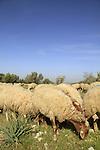 Israel, Shephelah, a flock of sheep in Masua forest